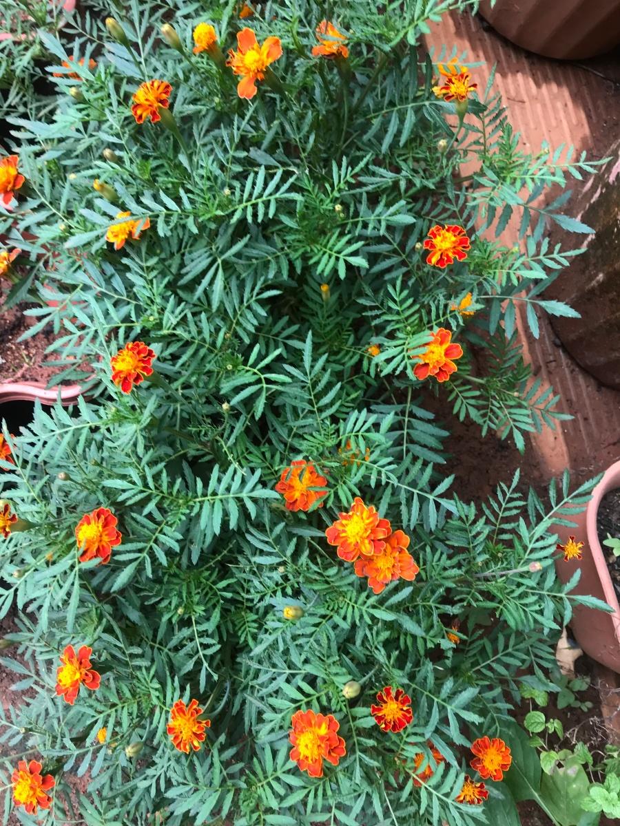 Marigolds as pesticide