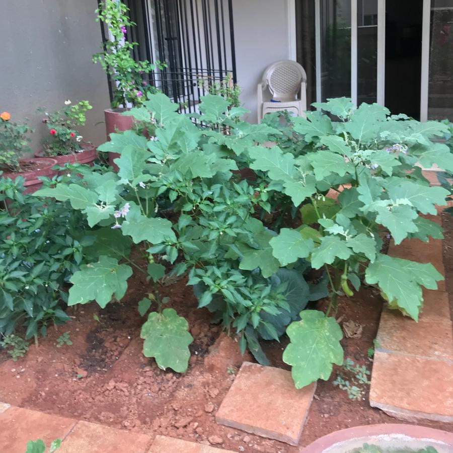 Brinjal plants.jpg