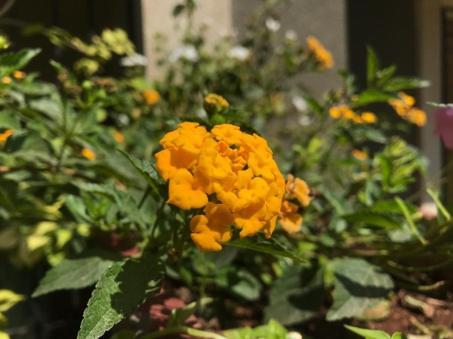 lantana yellow